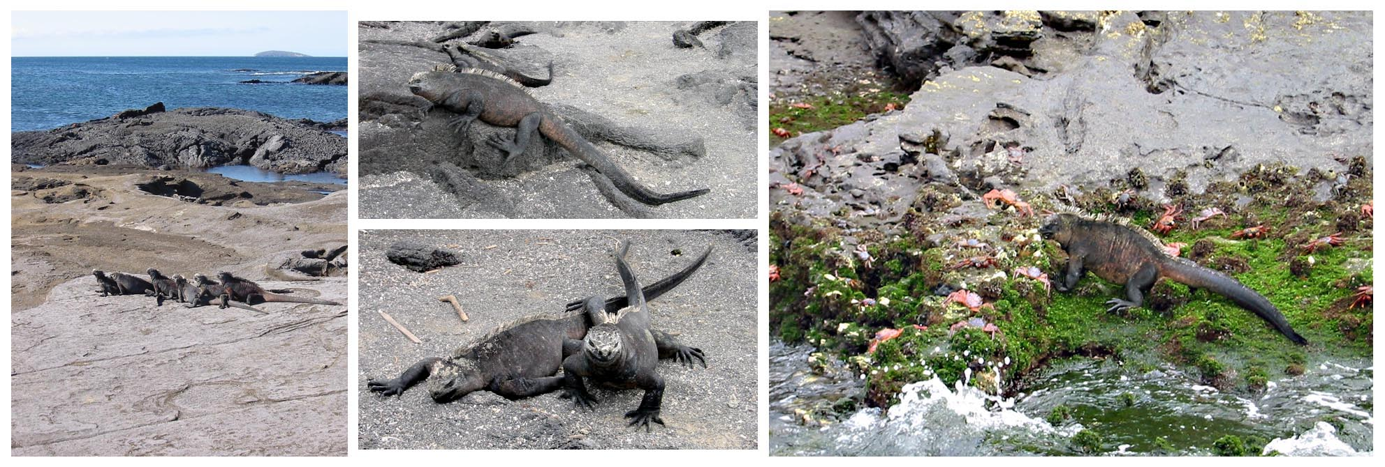 Galapagos Islands  //  Marine Iguanas on the islands of Isla Isabela and Isla Fernandina