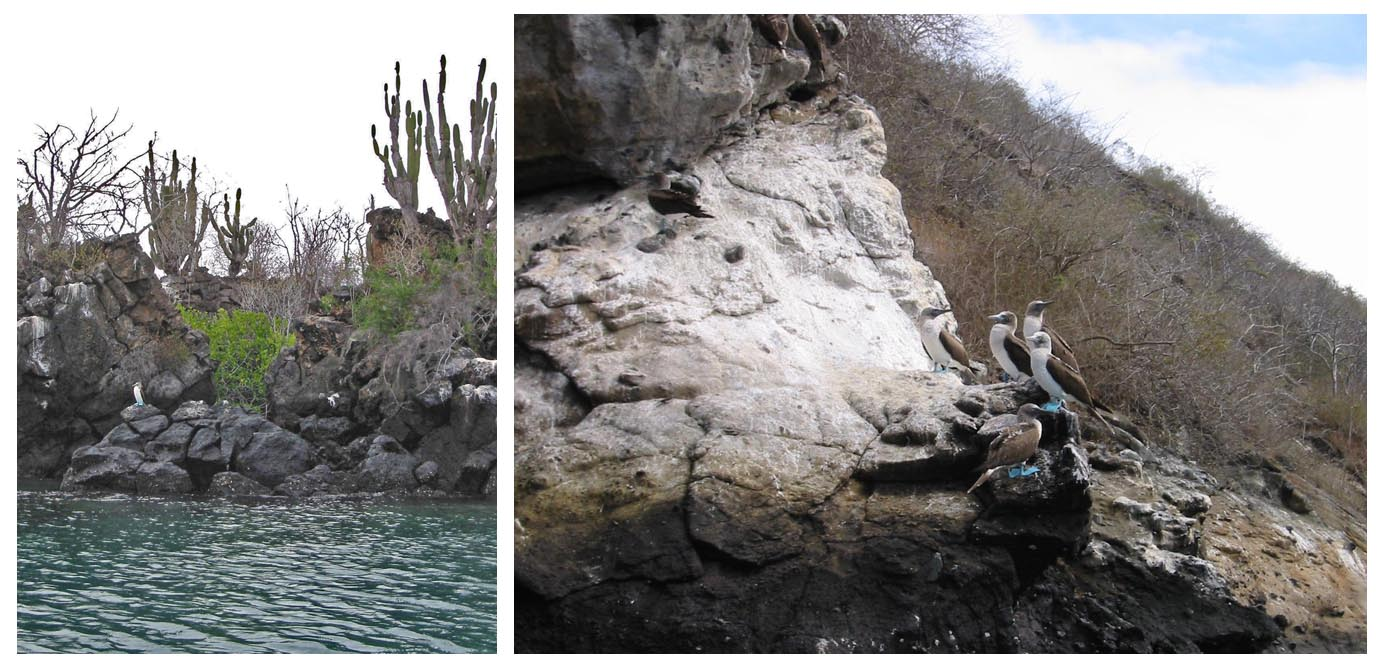 Galapagos Islands  //  Left:  Candelabra Cactus on Isla Santa Cruz - with Booby  Right:  Blue-footed Booby group on Isla Isabela